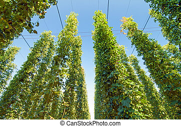 Green hops plantation with blue sky above