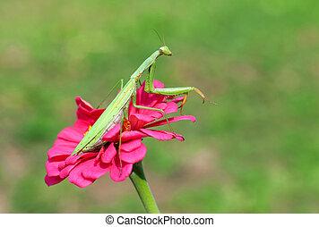 Praying mantis on a flower - Praying mantis sitting on a...