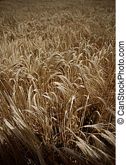 wheat field agriculture nature meadow growing food