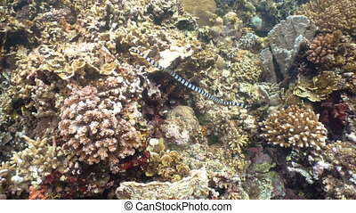 Banded Sea Snake. - Sea snake on coral reef. Banded Sea...