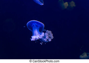 Glowing Blue Jellyfishes or Jellies which are the major Non...