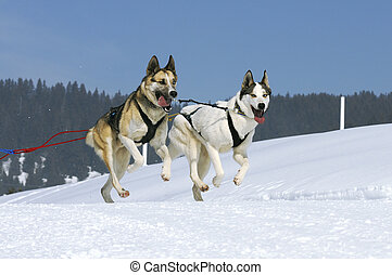 sportive dogs in winter