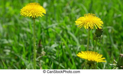 Yellow dandelions on green meadow, close up