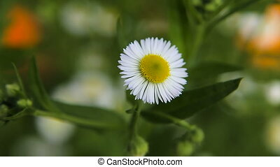 Daisy in the garden on a summer day. - Blooming chamomile....