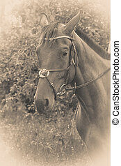 Sepia potrait of arabian dark horse with reins, stirrup and...