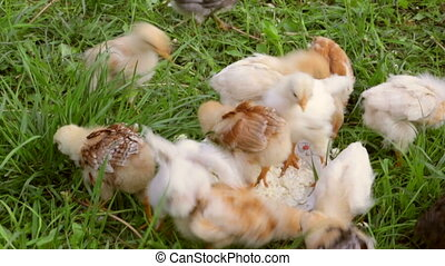 Crowd of little chicken eating the curd on green grass -...
