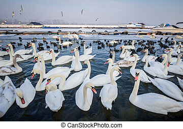 Swans on the frozen Danube, in Belgrade, Serbia, due to an...