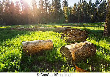 Dry stumps of pine tree on green meadow at sunset - Dry...