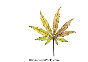 Purple and yellow cannabis leaf - Single purple and yellow...