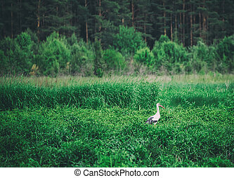 White stork bird in the meadow near forest, natural outdoor...