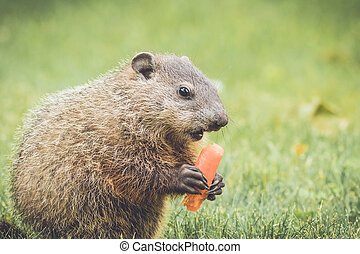 Funny little Woodchuck eating carrot - Young woodchuck...