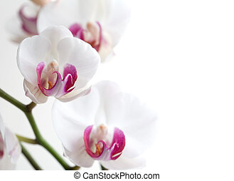 Orchid - White and pink orchids on white isolated background