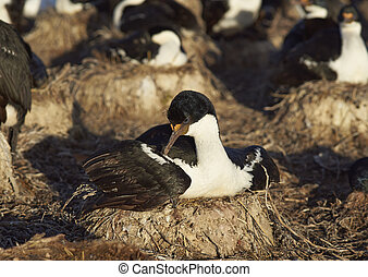Nesting Imperial Shag (Phalacrocorax atriceps albiventer) on...