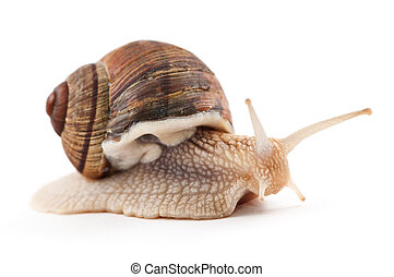 garden snail on a white background