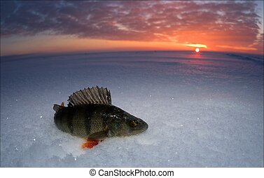 Perch. Just caught fish lies on snow in decline beams.
