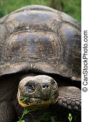 Galapagos Turtle - Portrait Galapagos Turtles which eats a...
