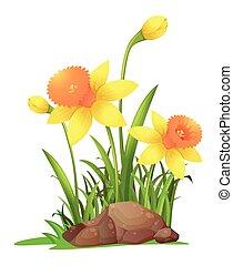 Daffodil flowers in garden