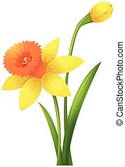 Daffodil flowers in yellow color illustration