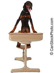 Doberman, perrito, escuela, escritorio