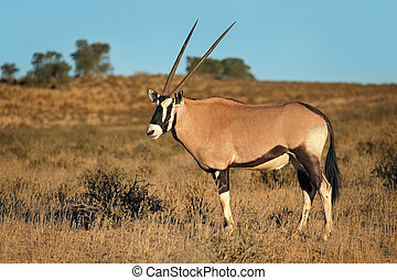 Gemsbok in natural habitat - A gemsbok antelope (Oryx...