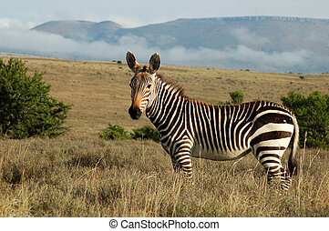 Cape Mountain Zebra - This is the Cape Mountain Zebra, one...