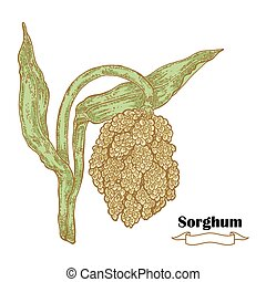 Grain Sorghum sketch. Hand drawn cereal. Vector illustration