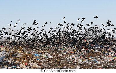 Flock of birds on landfill, Rook and Jackdaw