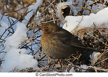 Eurasian Blackbird on branch, Turdus merula