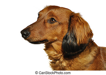 Red Long-Haired Dachshund - Profile Portrait of Red...
