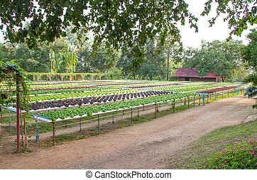 salad and vegetable cultivation
