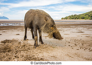 Bornean bearded pig Sus Barbatus on Bako national park beach...