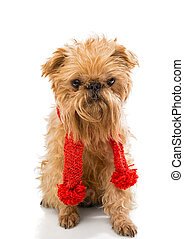 Dog in a knitted scarf - Dog breed Brussels Griffon in a...