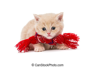 Kitten British in a red scarf - Little kitten British in a...