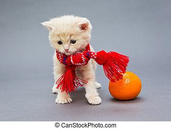 Kitten British in a red scarf - Little kitten British breed...