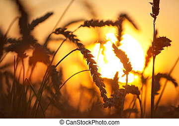 Eers of wheat Soft sunset light