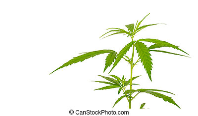 Bright green cannabis sativa leaf isolated