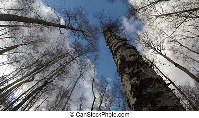 Dead birch tree in forest, time lapse - Dead birch tree shot...