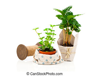 Peperomia (radiator plant) seedling and coffee plant tree, on white background.