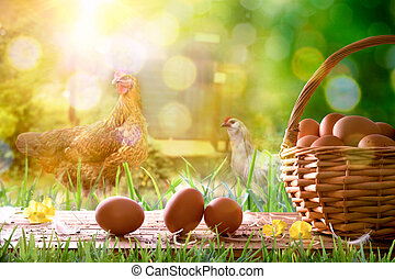 Freshly picked eggs in wicker basket and field with chickens...