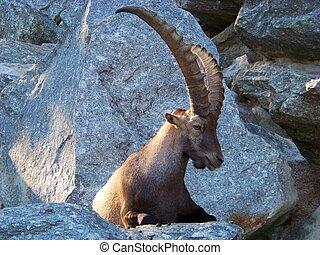 Capricórnio, perfil, alpino
