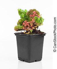 Sedum is a large genus of flowering plants in the family...