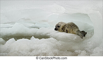 White-coat seal - The Ladoga Ringed Seal Pusa hispida...