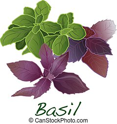 basil leaves vector  isolated
