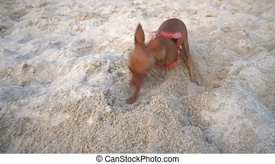 Cute miniature pinscher on the beach - Video of cute...