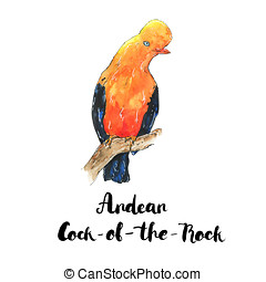 hand drawn watercolor isolated bird Andean Cock of the Rock...