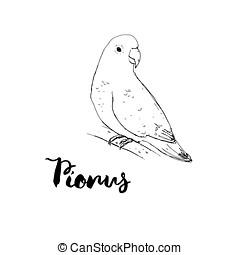 hand drawn graphic isolated bird Pionus with handwritten...