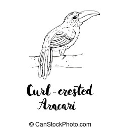 hand drawn watercolor isolated bird Curl crested Aracari...