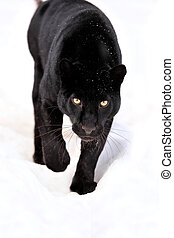 Leopard portrait - Close-up black leopard on snow