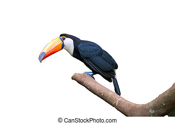 Toucan bird in a tree on white isolated background