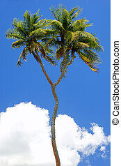 Double-headed coconut tree on Tongatapu island in Tonga....